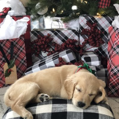 Christmas surprise puppy, our golden retriever under the christmas tree with buffalo check gifts